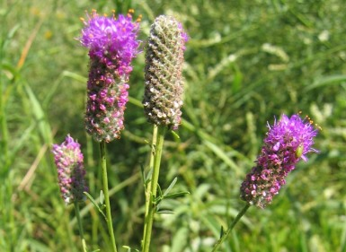 Purple Prairie Clover 7