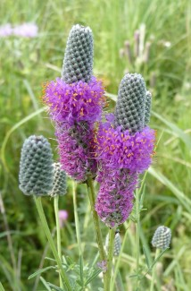 Purple Prairie Clover-7