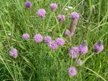 Purple Prairie Clover-8