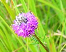 Purple Prairie Clover