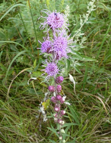 Rough Blazing Star (2)