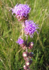 Rough Blazing Star (3)