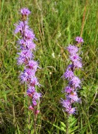 Rough Blazing Star