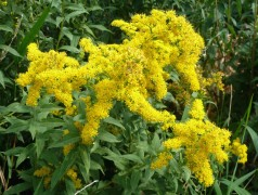 Rough-Leaved Goldenrod