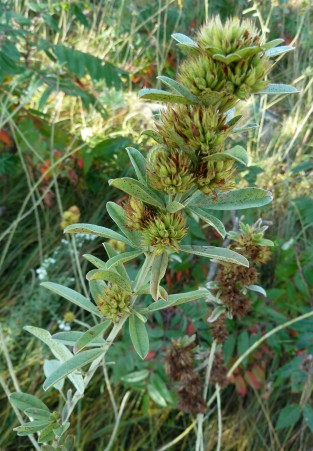 Round-Headed Bush Clover-4
