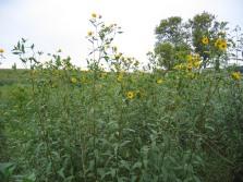 Sawtooth Sunflower 10