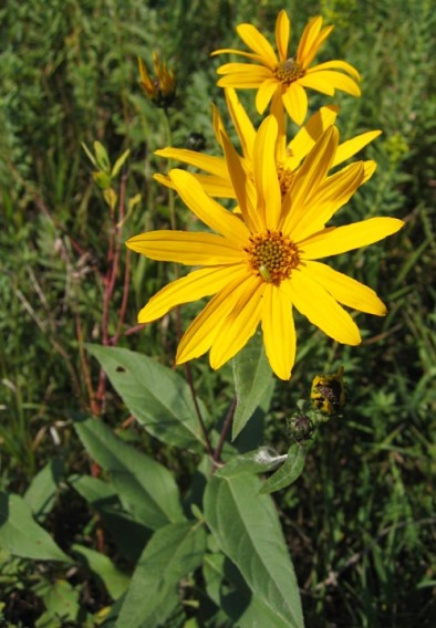 Sawtooth Sunflower 11