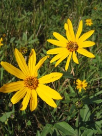 Sawtooth Sunflower 12