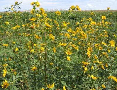 Sawtooth Sunflower 13
