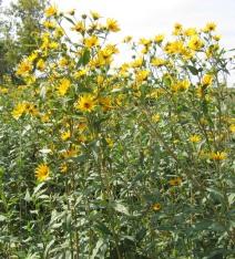 Sawtooth Sunflower 14