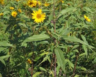 Sawtooth Sunflower 2