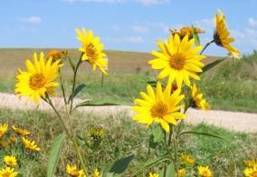 Sawtooth Sunflower 3