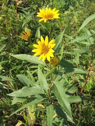 Sawtooth Sunflower 4
