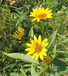 Sawtooth Sunflower 5