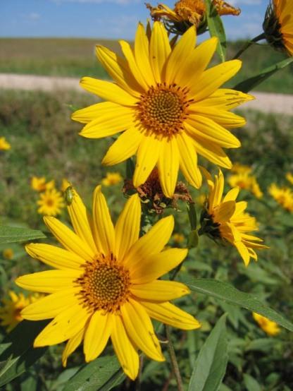 Sawtooth Sunflower 6