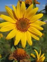 Sawtooth Sunflower 7