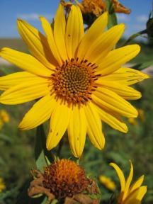 Sawtooth Sunflower 7
