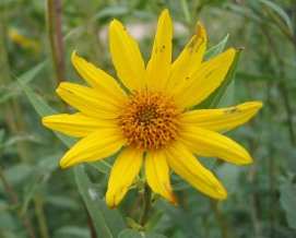 Sawtooth Sunflower 8