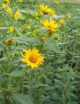 Sawtooth Sunflower 9