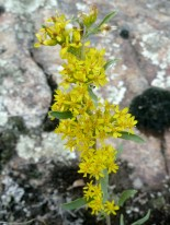 Showy Goldenrod-2