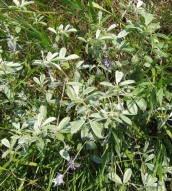 Silvery Scurf Pea