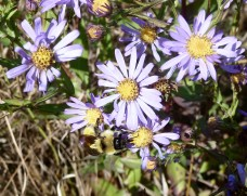 Smooth Blue Aster-2
