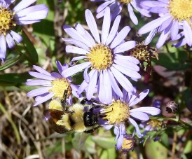 Smooth Blue Aster-4