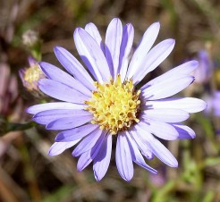 Smooth Blue Aster-5