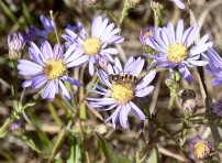 Smooth Blue Aster-6