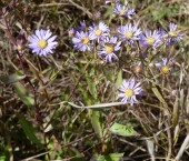 Smooth Blue Aster-7