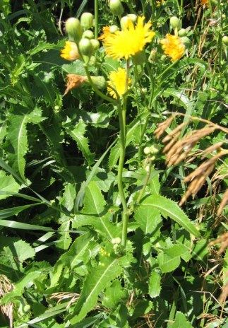 Sow Thistle 2