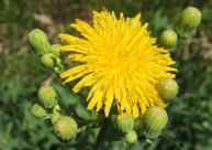 Sow Thistle 3