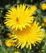 Sow Thistle 4
