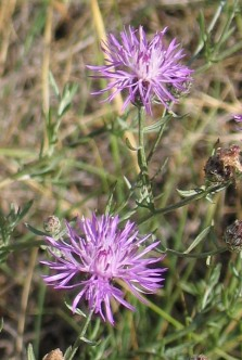 Spotted Knapweed 2