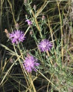 Spotted Knapweed 3