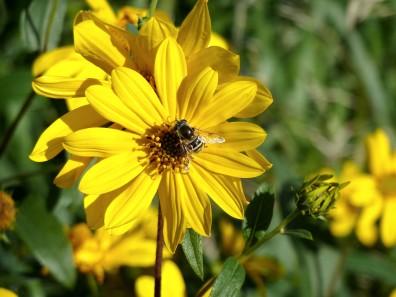 Stiff Sunflower-2