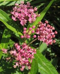 Swamp Milkweed 2