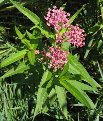 Swamp Milkweed 3