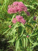 Swamp Milkweed 4