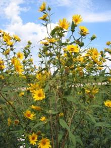 Tall (Giant) Sunflower 10