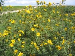 Tall (Giant) Sunflower 11