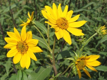 Tall (Giant) Sunflower 3