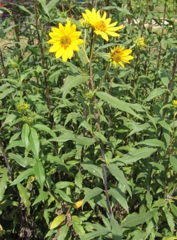 Tall (Giant) Sunflower 4