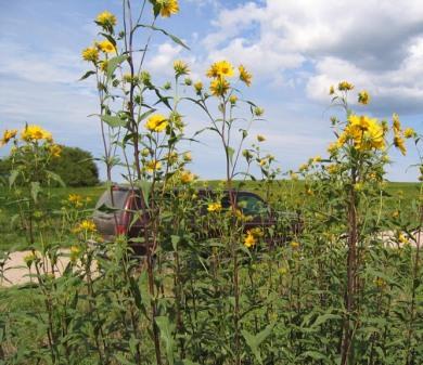Tall (Giant) Sunflower 5