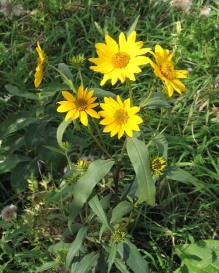 Tall (Giant) Sunflower 7