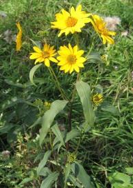 Tall (Giant) Sunflower 8