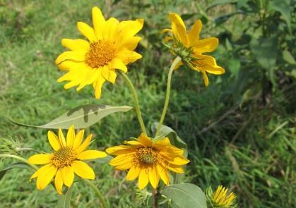 Tall (Giant) Sunflower 9