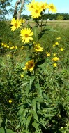 Tall Sunflower-2