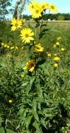 Tall Sunflower-2