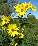 Tall Sunflower-3
